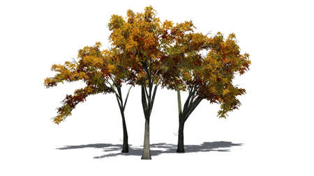 several American Elm trees in autumn with shadows on the floor - isolated on white background Stock Photo