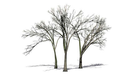 several American Elm trees on the floor with shadow on the floor - isolated on white background