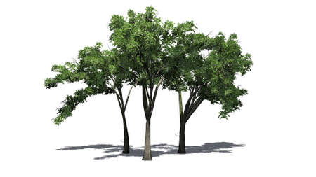 several American Elm trees on the floor - isolated on white background