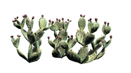 Prickly pear cactus cluster - isolated on white background 版權商用圖片
