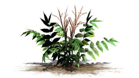 False spirea plant on a sand area - isolated on white background Stock Photo