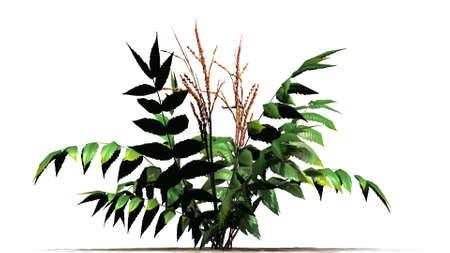 False spirea plant on sand floor - isolated on white background