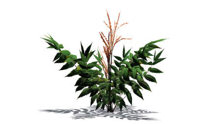 False Spirea plant on the floor - isolated on white background Stock Photo