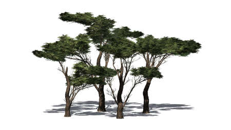 several different umbrella Thorn trees with shadow - isolated on white background Stock Photo