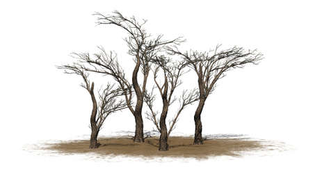 various umbrella Thorn trees in the winter on a sand area - isolated on white background Stock Photo