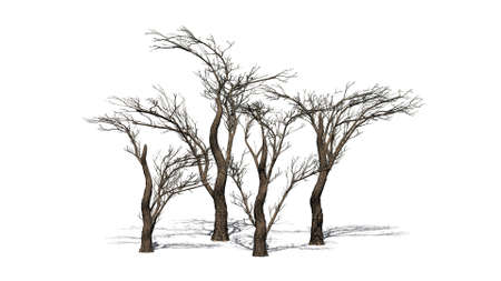 various umbrella Thorn trees on the floor with shadow on the floor - isolated on white background