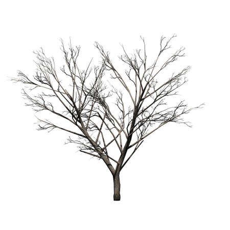 Honey mesquite tree in winter - isolated on white background
