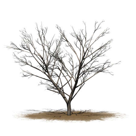 Honey mesquite tree in winter on a sand area - isolated on white background