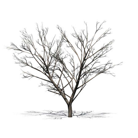 Honey mesquite tree with shadow in winter - isolated on white background Stock Photo