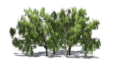 several different mesquite trees with shadow - isolated on white background Stock Photo