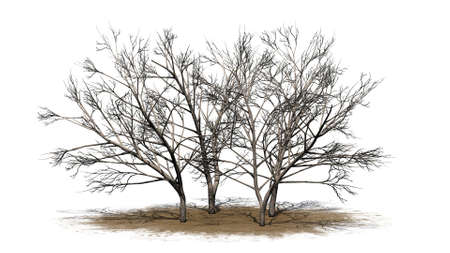 various honey mesquite trees in winter on a sand area - isolated on white background