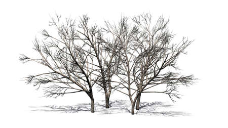 various honey mesquite trees in winter - isolated on the white background Stock Photo