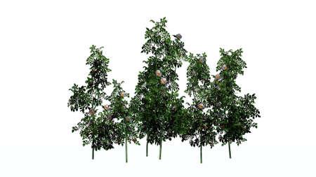 Dog roses - bush flowers - isolated on white background