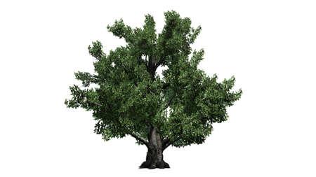 European beech tree - isolated on white background