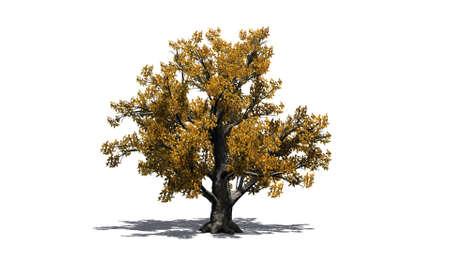 European beech tree in autumn - isolated on white background