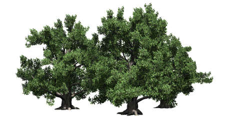 European beech tree cluster - isolated on white background Banco de Imagens