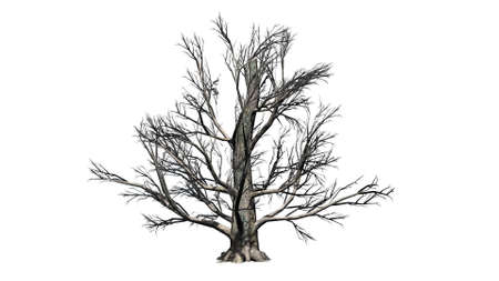 European beech tree in the winter - isolated on white background