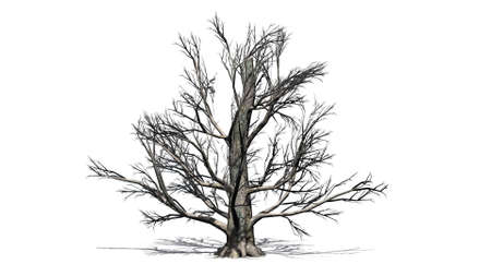 European beech tree in winter - isolated on white background