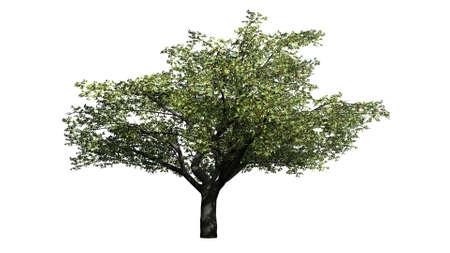 Cherry Tree - isolated on white background