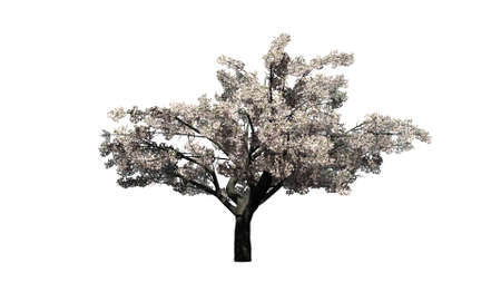 Cherry tree with blossoms - isolated on white background Stock Photo