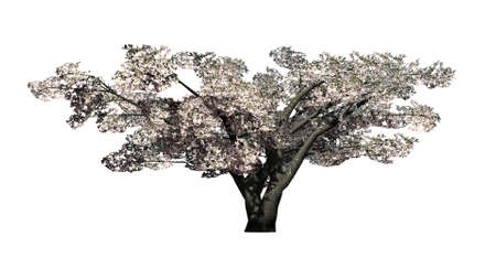 single cherry tree with blossoms - isolated on white background