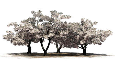 Cherry trees with blossoms on a sand area - isolated on white background