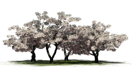 Cherry trees with blossoms on a green area - isolated on white background Stock Photo