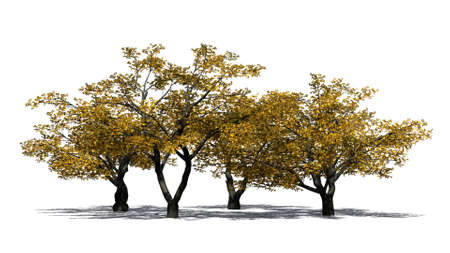 Cherry trees in autumn with shadow on the floor - isolated on white background