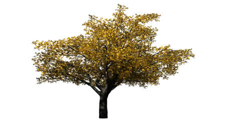 Cherry tree in autumn - isolated on white background
