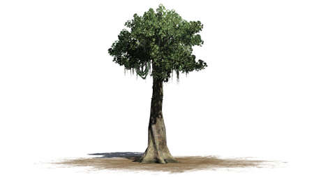 Kapok tree on a sand area - isolated on white background