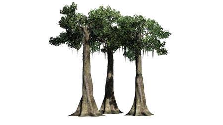 Kapok trees - isolated on white background