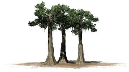 Kapok trees on a sand area - isolated on white background