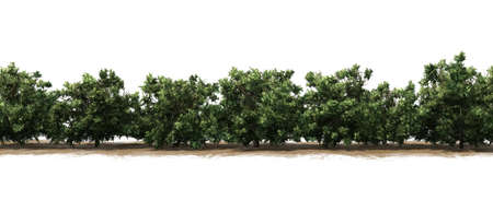American boxwood hedge on a sand area - isolated on white background Banque d'images - 118541351