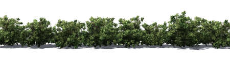 American boxwood hedge with shadow on the floor - isolated on white background Banque d'images - 118541369