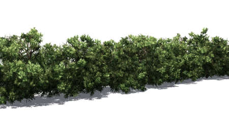 American boxwood hedge with shadow on the floor - isolated on white background Banque d'images - 118541371