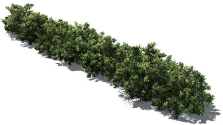American boxwood hedge with shadow on the floor - isolated on white background Banque d'images - 118541372
