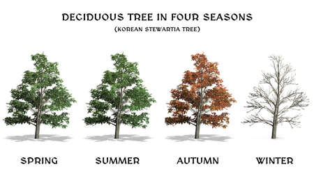 Deciduous Tree in four seasons - Korean Stewartia - isolated on white a white background Reklamní fotografie - 119793689