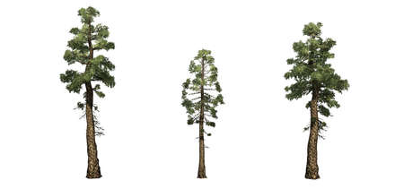 Set of Douglas Fir trees - isolated on a white background Banco de Imagens