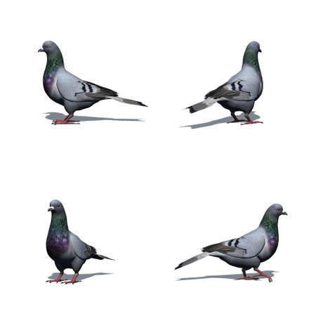 Set of pigeon with shadow on the floor - isolated on white background