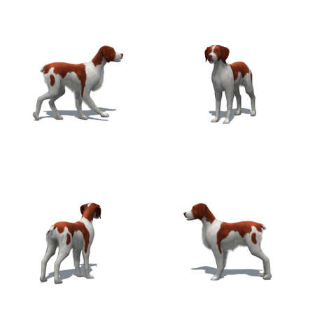 Set of Brittany dog with shadow on the floor - isolated on white background