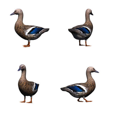 Set of duck female - isolated on white background