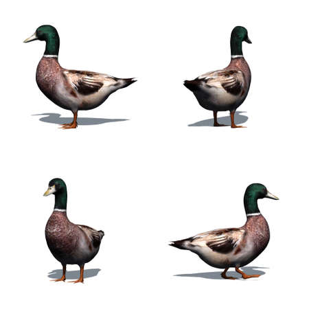 Set of duck male with shadow on the floor - isolated on white background
