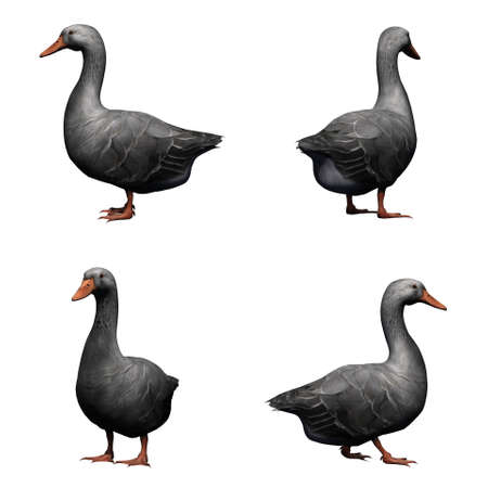 Set of gray goose - isolated on white background Stock Photo