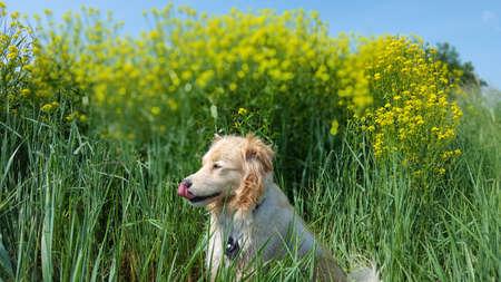 Golden retriever mix is sitting in a summer meadow Reklamní fotografie