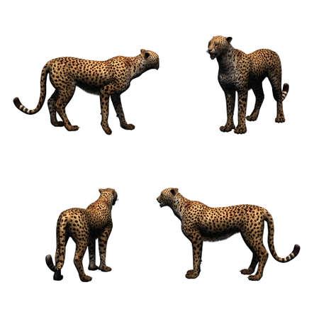 Set of cheetah - isolated on white background