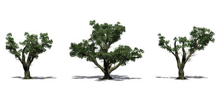 Set of Big Leaf Maple trees in the summer with shadow on the floor - isolated on white background Stockfoto