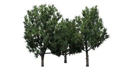 eine Gruppe von Bradford Birnbäumen - isoliert auf weißem Hintergrund