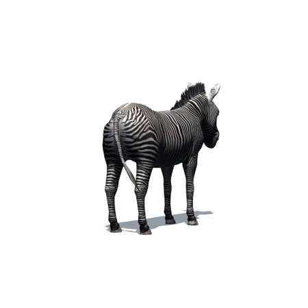 Wild animals - zebra with shadow on the floor - isolated on white background - 3D illustration