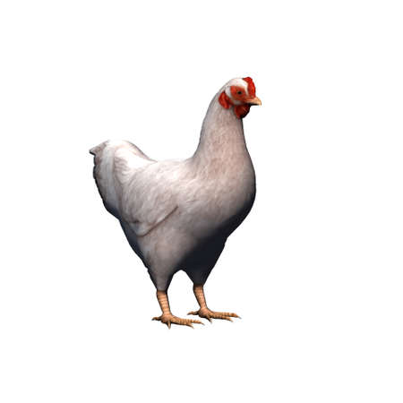 Farm animals - white chicken - isolated on white background - 3D illustration