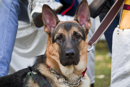 alsatian: Portrait of German Shepherd Dog also known as Alsatian from Pastoral Group of Dogs. Stock Photo